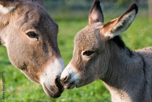 фотография donkey