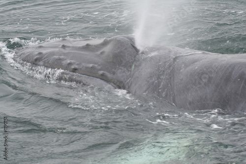 Valokuva  humpback whale,humpback,whale,adolescent,mammal,ma