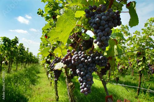 Photo sur Aluminium Vignoble vineyard