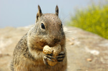 Squirrel Eating Peanut