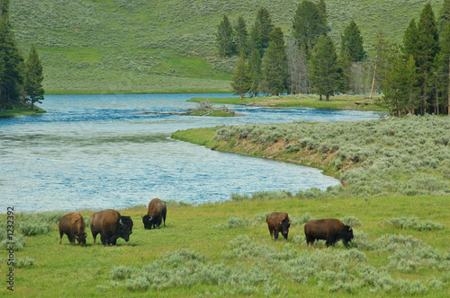 Aluminium Prints yellowstone bison