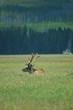 yellowstone elk