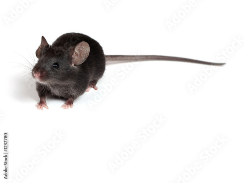 Fototapety, obrazy: little mouse
