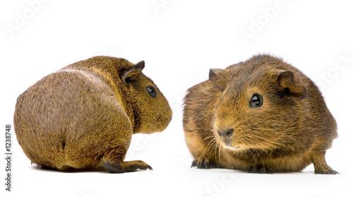 Photo cochon d'inde agouti