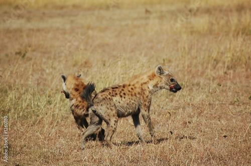 Poster Hyène hyena