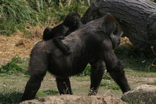 Mother And Baby Gorilla 1