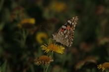 Painted Lady Butterfly Underside