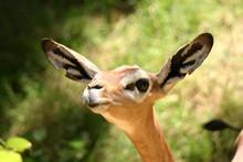 Gerenuk (deer)