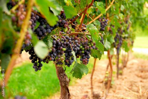 Tuinposter Wijngaard grape vines