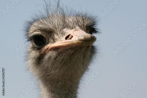 Staande foto Struisvogel ostrich