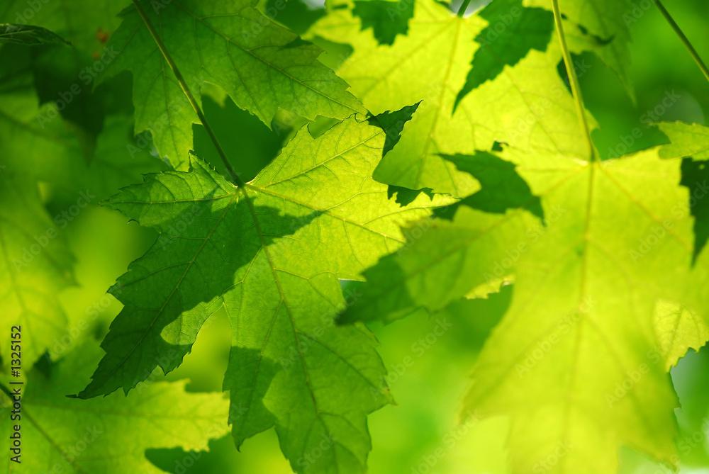 Fototapety, obrazy: Zielone liście klonu