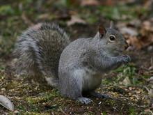 Illinois Gray Squirrel
