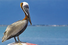 Perched Pelican