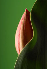 Panel Szklany Erotyka tulip with curved leaf and green background