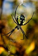 Garden Spider, Argiope Aurantia
