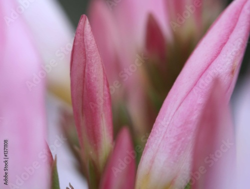 Garden Poster Lotus flower first flowers