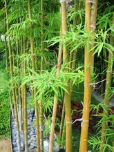 Bamboo Garden 2
