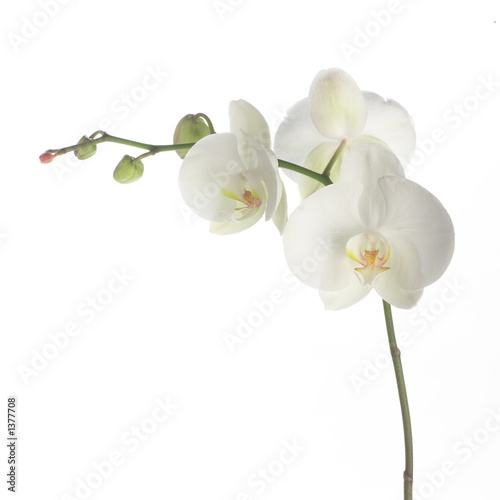 Foto op Canvas Orchidee white orchid