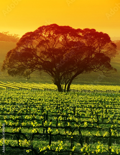Printed kitchen splashbacks Australia large tree in vineyard