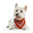 canvas print picture west highland white terrier