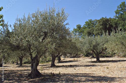 Papiers peints Oliviers champ d'oliviers