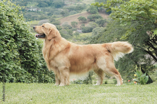 Fotografía golden retriever posing