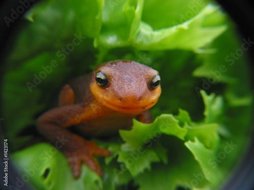 Photo newt
