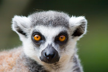 Ring Tailed Lemur Portrait