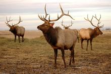 Elk Stags