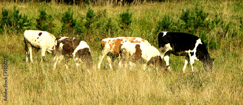 La pose en embrasure Vache cows