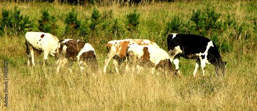 Poster de jardin Vache cows