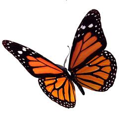 Fototapeta bullterfly