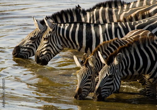 Aluminium Prints Bestsellers zebras at the water hole