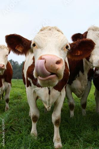 Poster de jardin Vache vache tire la langue 01