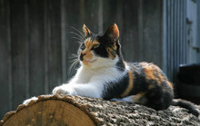 Posing Farm Cat