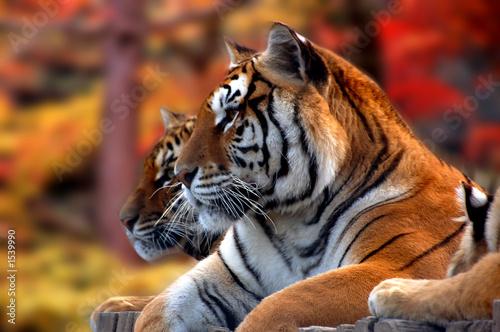 Photo  tigres du bengale