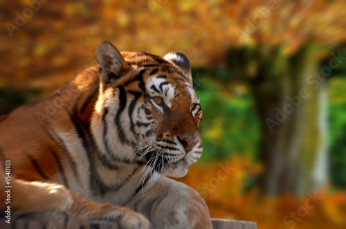 Photo  bengal tiger