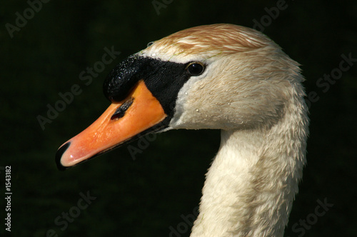 Canvas Prints Swan mute swan
