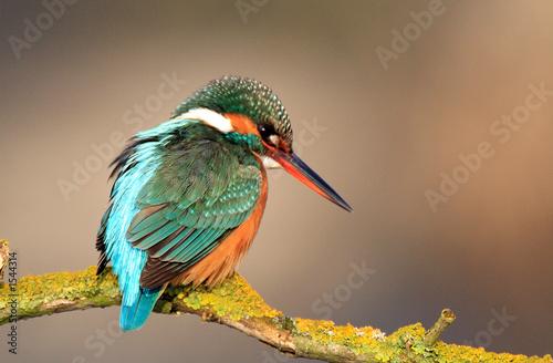 Fotografiet kingfisher
