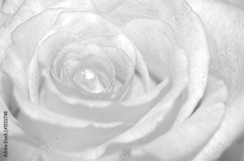 Photo weisse rose