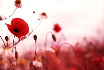 Fototapeta poppy field 1