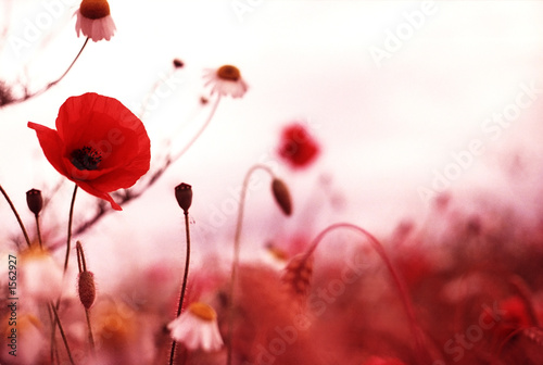 Foto op Canvas Klaprozen poppy field 1
