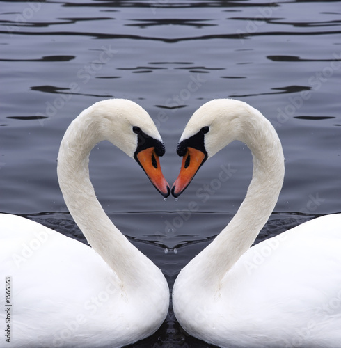 Poster Cygne swans heart
