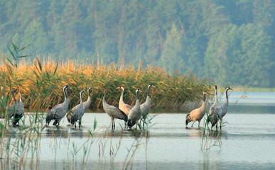 Panel Szklany Podświetlane Rzeka i Jezioro cranes(grus grus)