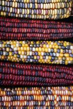 Indian Corn Background