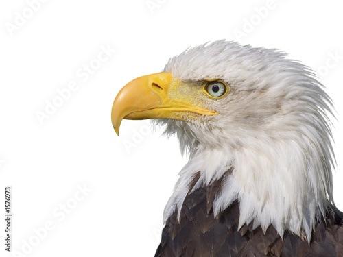 Photo sur Toile Aigle bald eagle