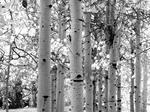 Deurstickers Berkbosje black and white image of aspen trees