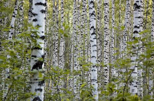 Deurstickers Berkbosje grove