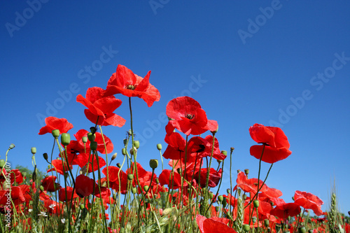 Foto op Canvas Poppy poppy flowers