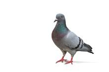 Taube Freigestellt